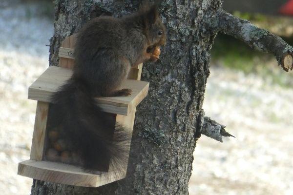 écureuil à chalet chapelle des bois
