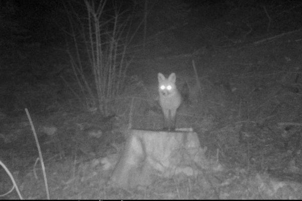 renard de nuit à chalet chapelle des bois